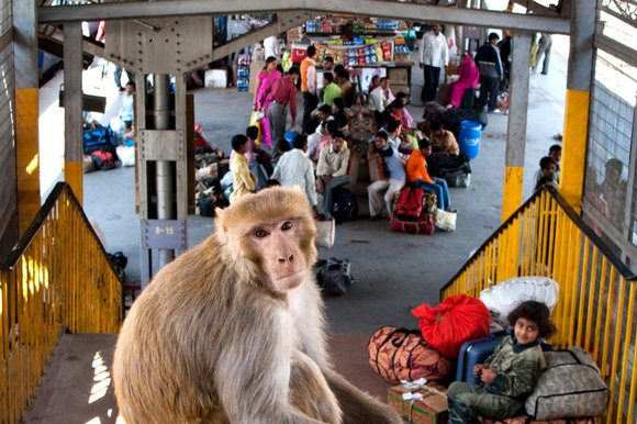 Monkey at Indian train station. Courtesy The Sunday Times
