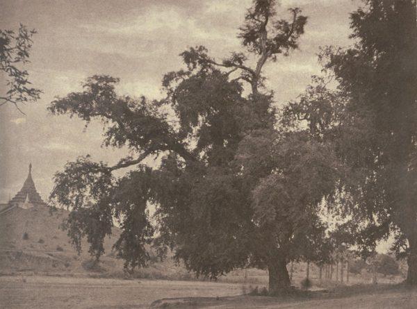 No. 10. Ye-nan-gyoung [Yenangyaung]. Tamarind tree
